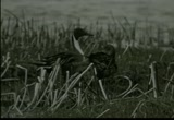Still frame from: Waterfowl in the Spring