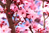 Still frame from: Cherry Blossoms in Santa Rosa
