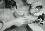 Still frame from: Cliff Swallows: Preparing a Study Group