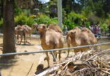 Still frame from: Camels at a Zoo