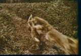 Still frame from: General Foods: Gaines Meal Dog Food, 1960s (dmbb10814)