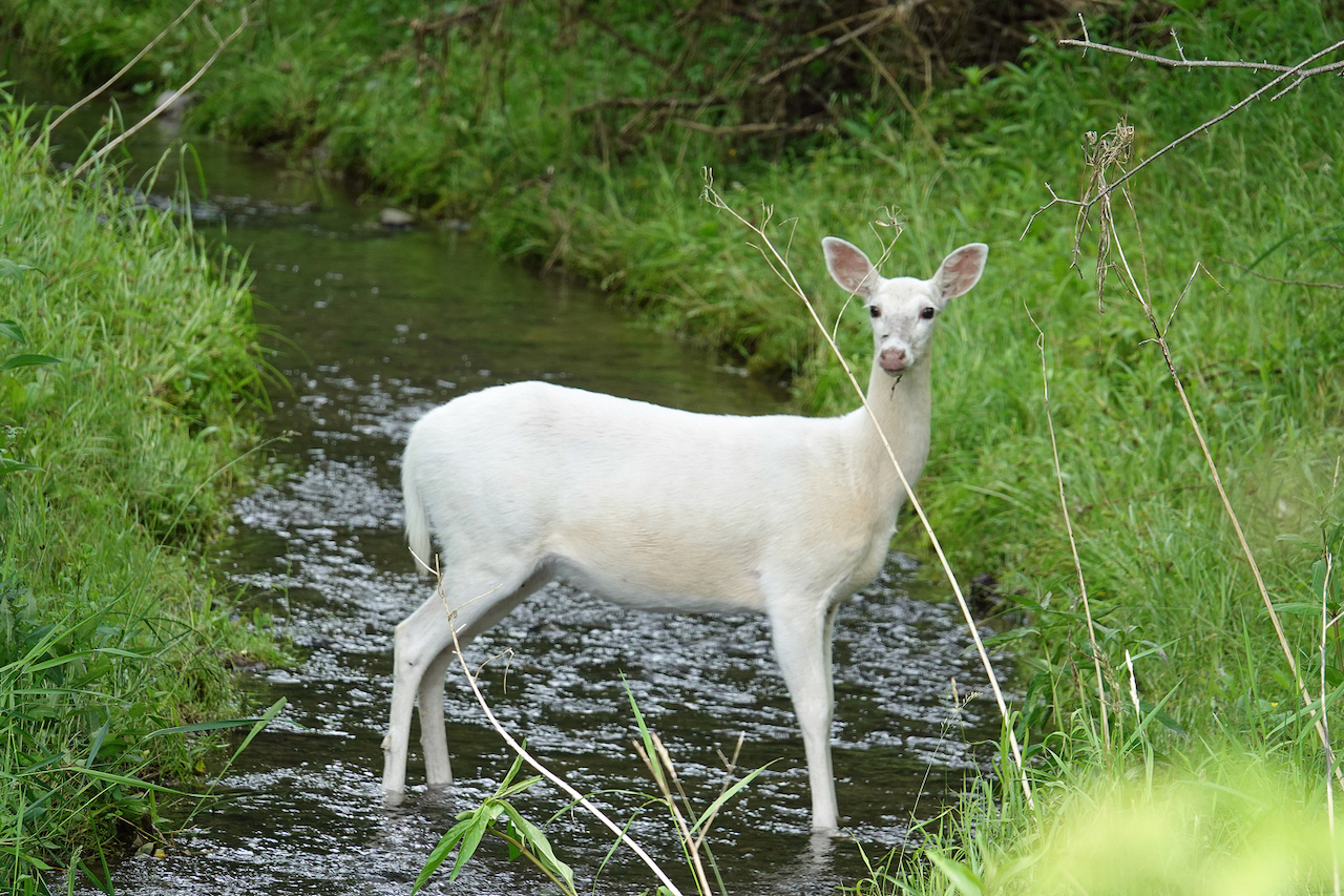White Deer (photo)