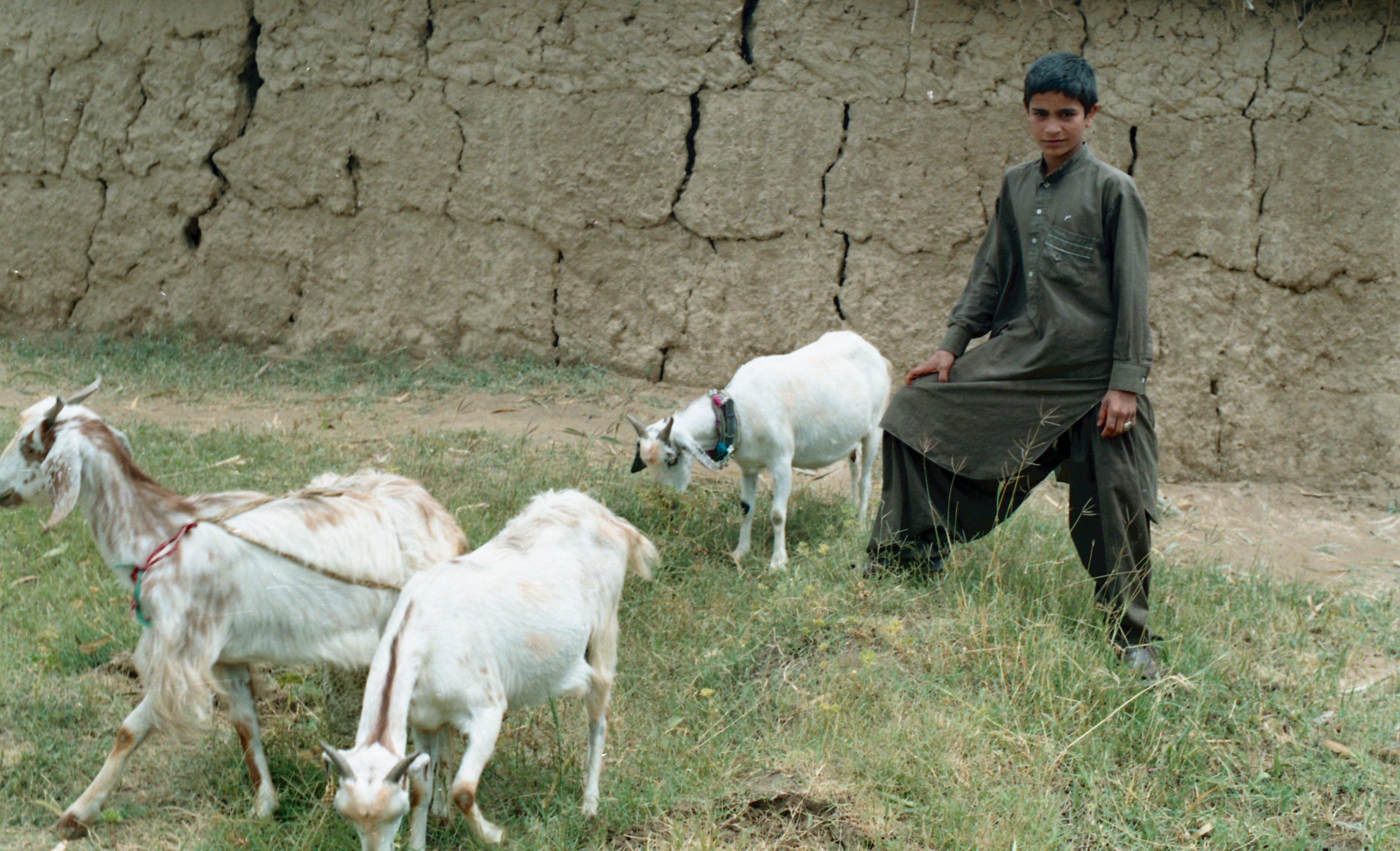 An Afghan refugee boy grazing goats  : Muhammad Zaman : Free