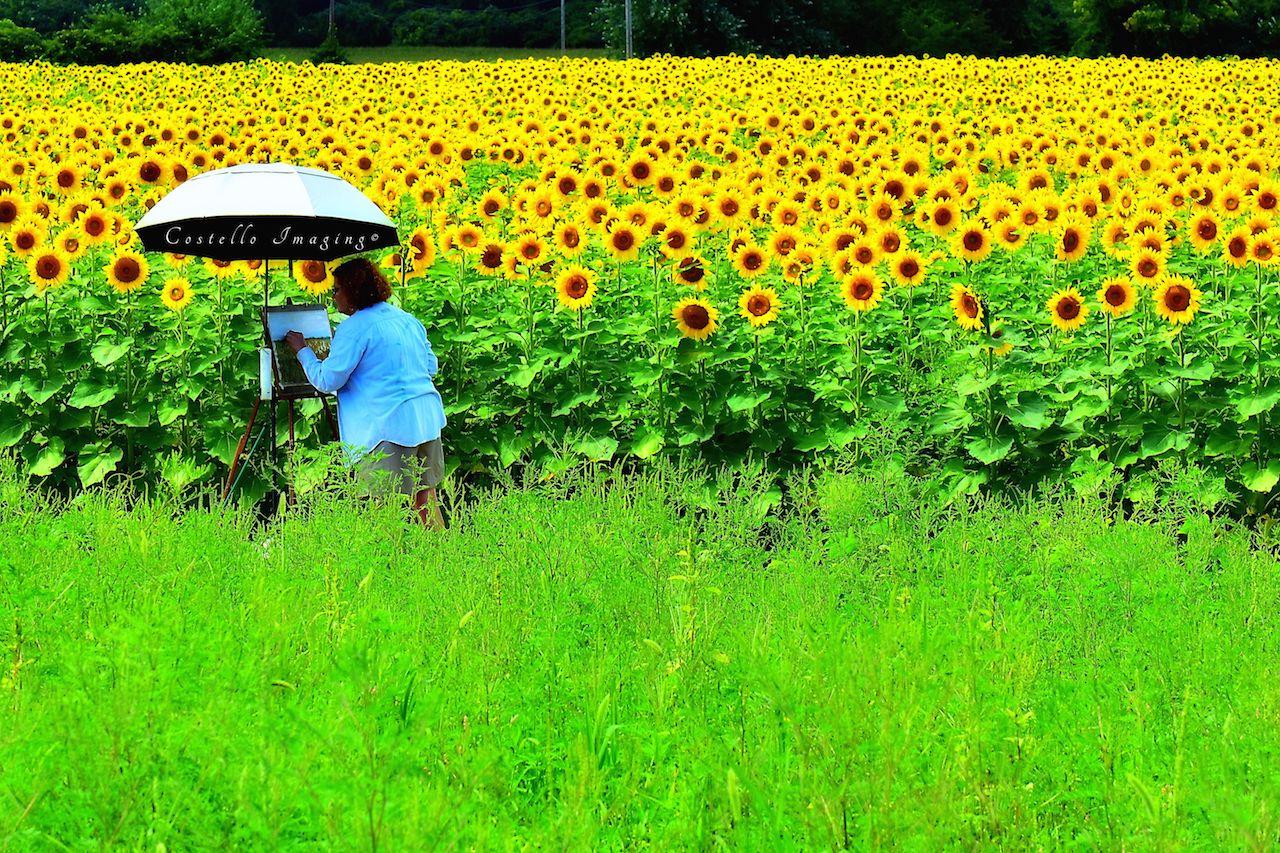 Sunflowers at Fredericks Farm (photo)