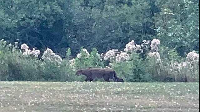 You won't believe the size of this bobcat spotted in Hornell
