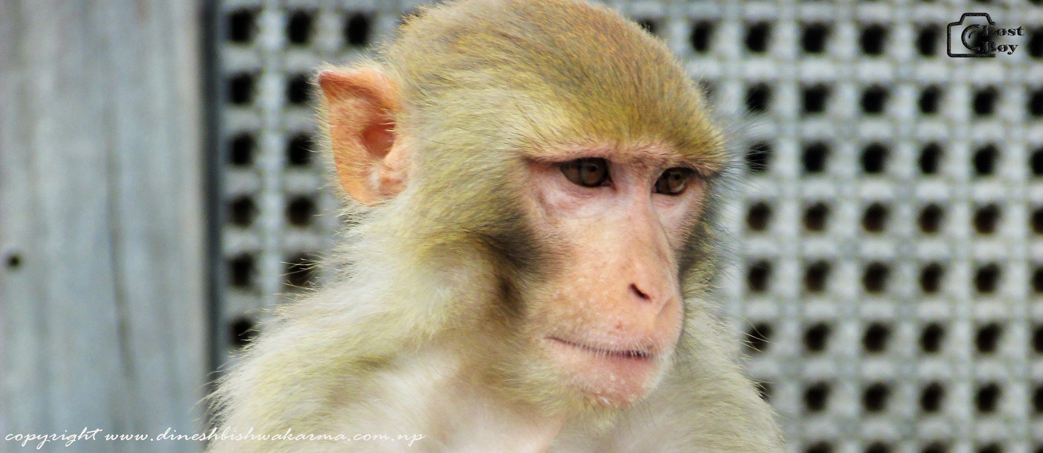 Monkey in Swayambhunath , Kathmandu