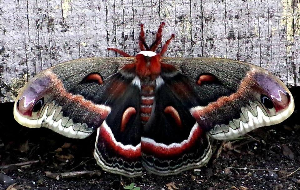Cecropia Moth in Seneca County
