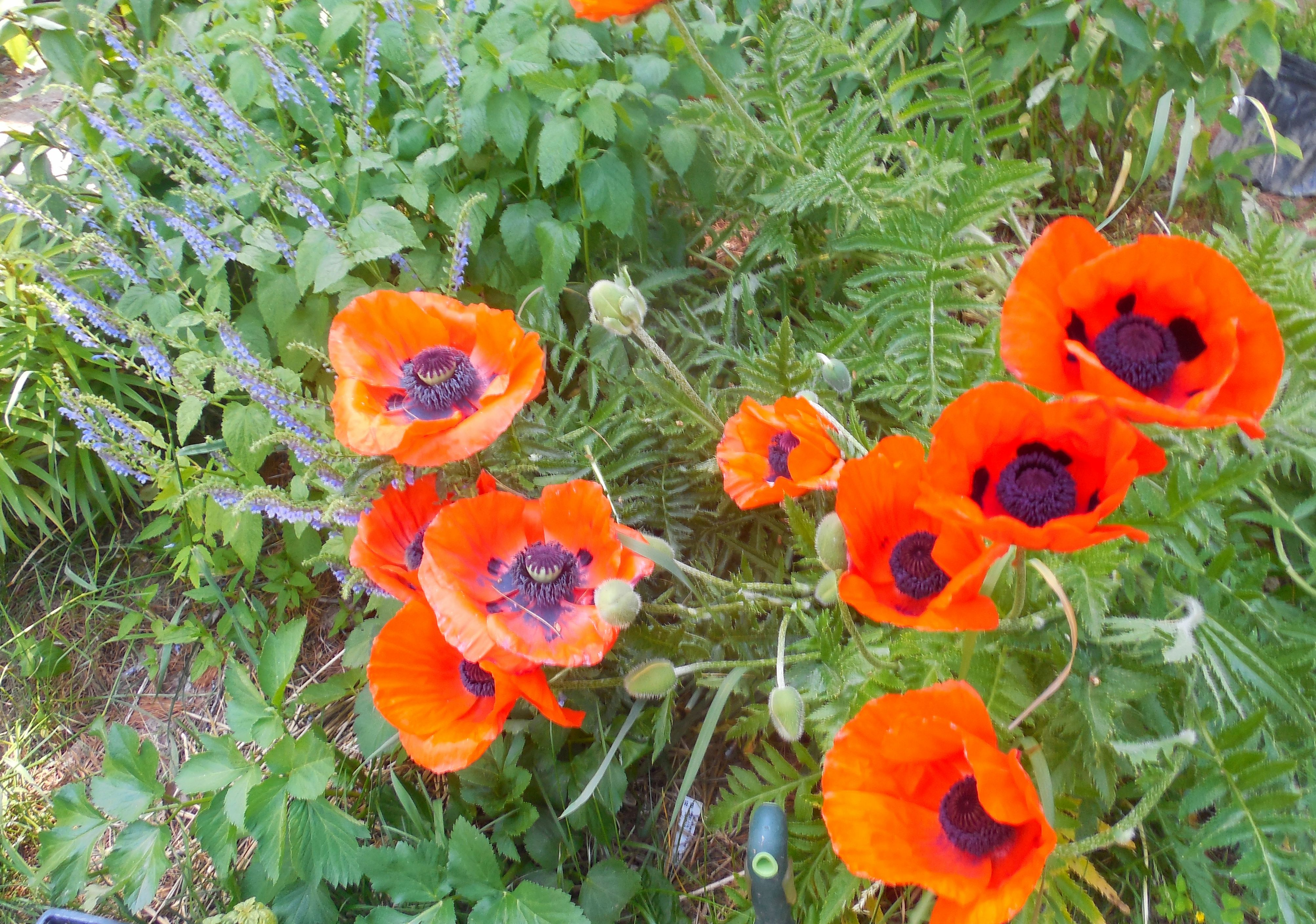 Poppies bloom as temperatures rise in Enfield (photo)