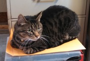 Beverly Shelter Pets of the Week: Cuddly Felines