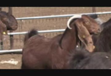 Cyprus Shami Goats Chios Sheep