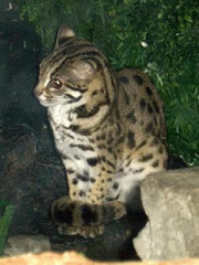 Kucing Congkok Atau Leopard Cat : Free Download, Borrow, and
